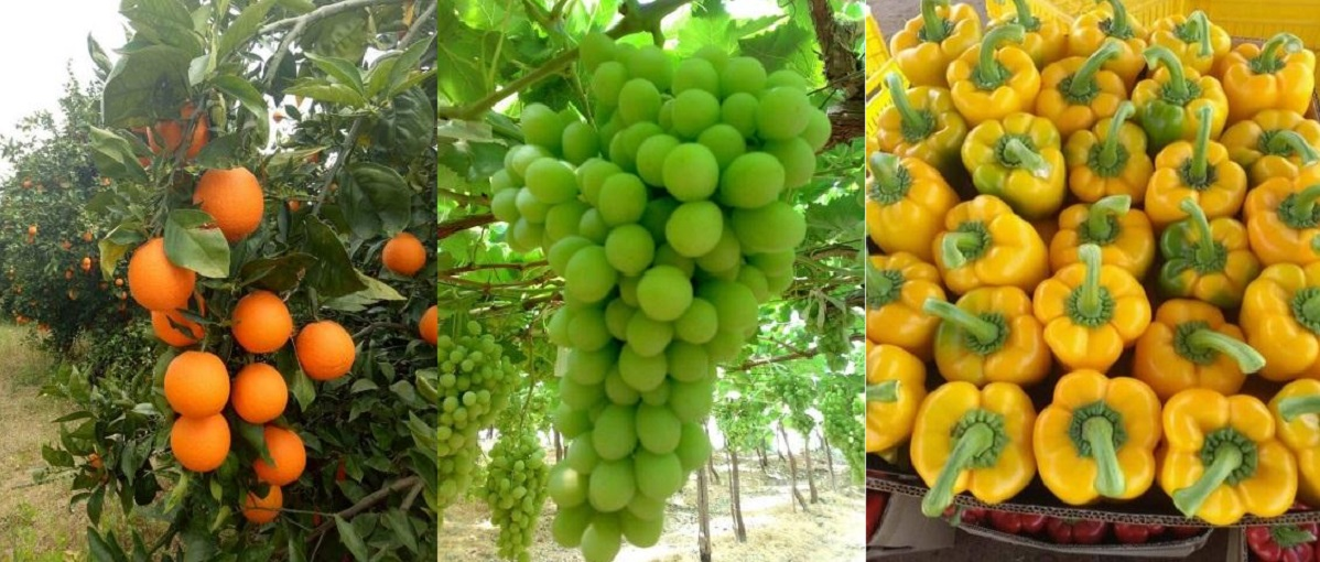 Fruit Kingdom for Export