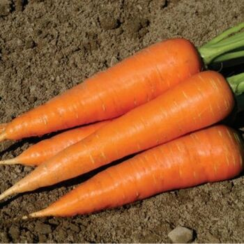 Fresh Carrots by AGROFOOD