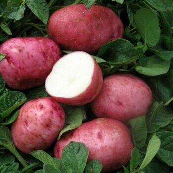 Fresh Désirée Potatoes by AGROFOOD