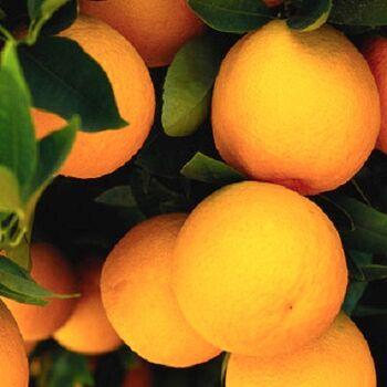 Fresh Valencia Orange by Egypt Garden