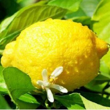 Fresh Lemon by Green Tiba