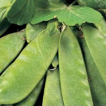 Mangetout produced in Egypt by Evagro