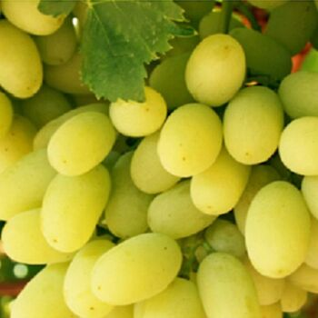 Fresh White Sugraone seedless grapes by Green Tiba