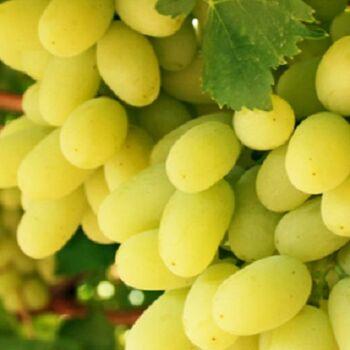 Fresh White Sugraone Seedless Grapes by Dakahlia CO