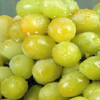 Fresh White Seedless Grapes by Egypt Garden