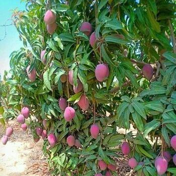 Fresh Mango by Fruit Kingdom