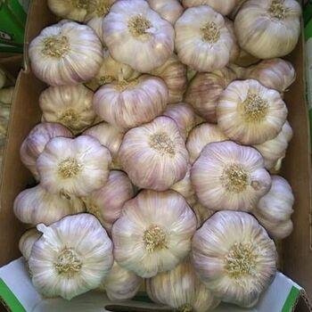 Fresh Garlic by Fruit Kingdom